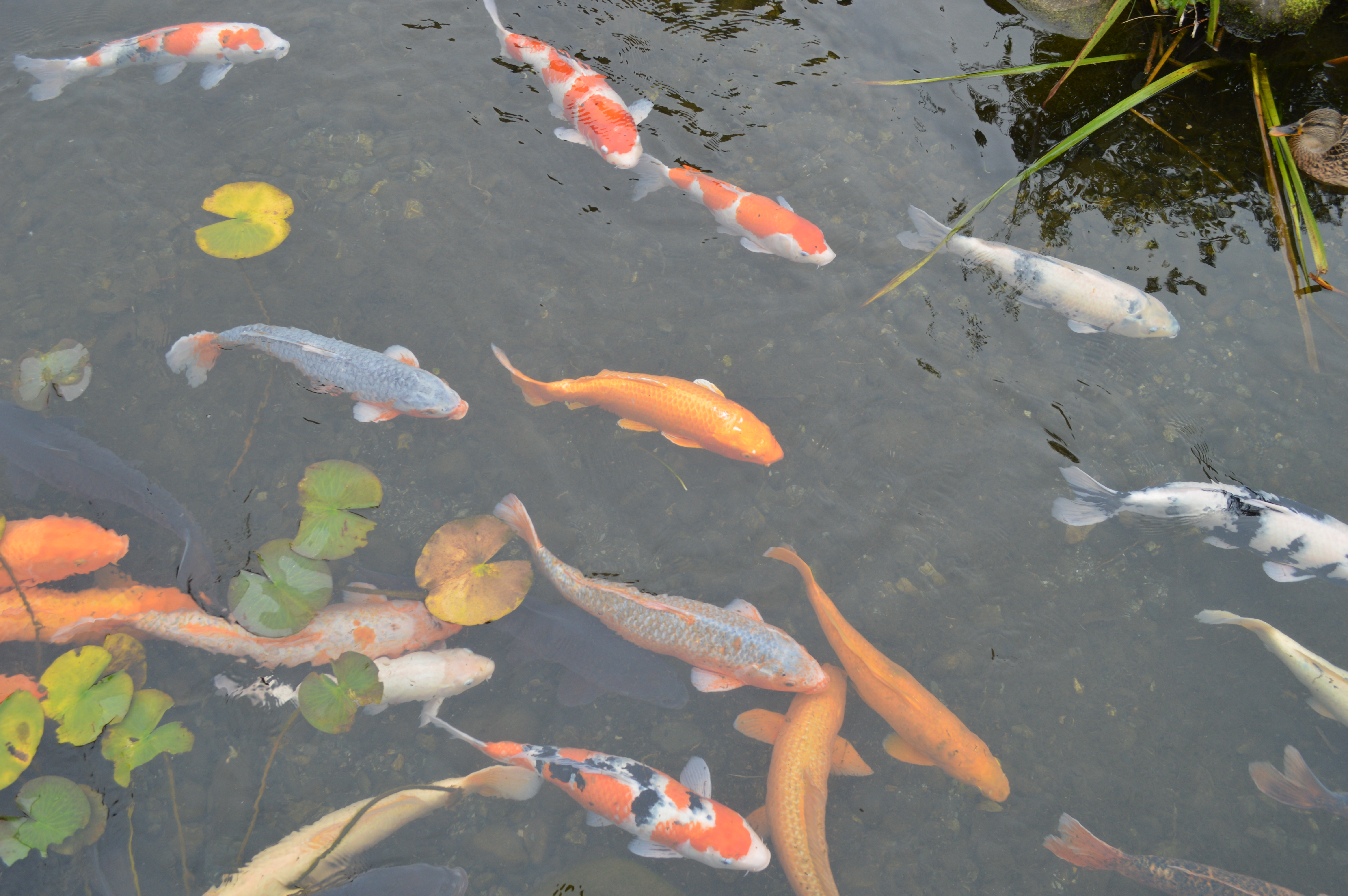 The garden also has a wonderful collection of Japanese carp.