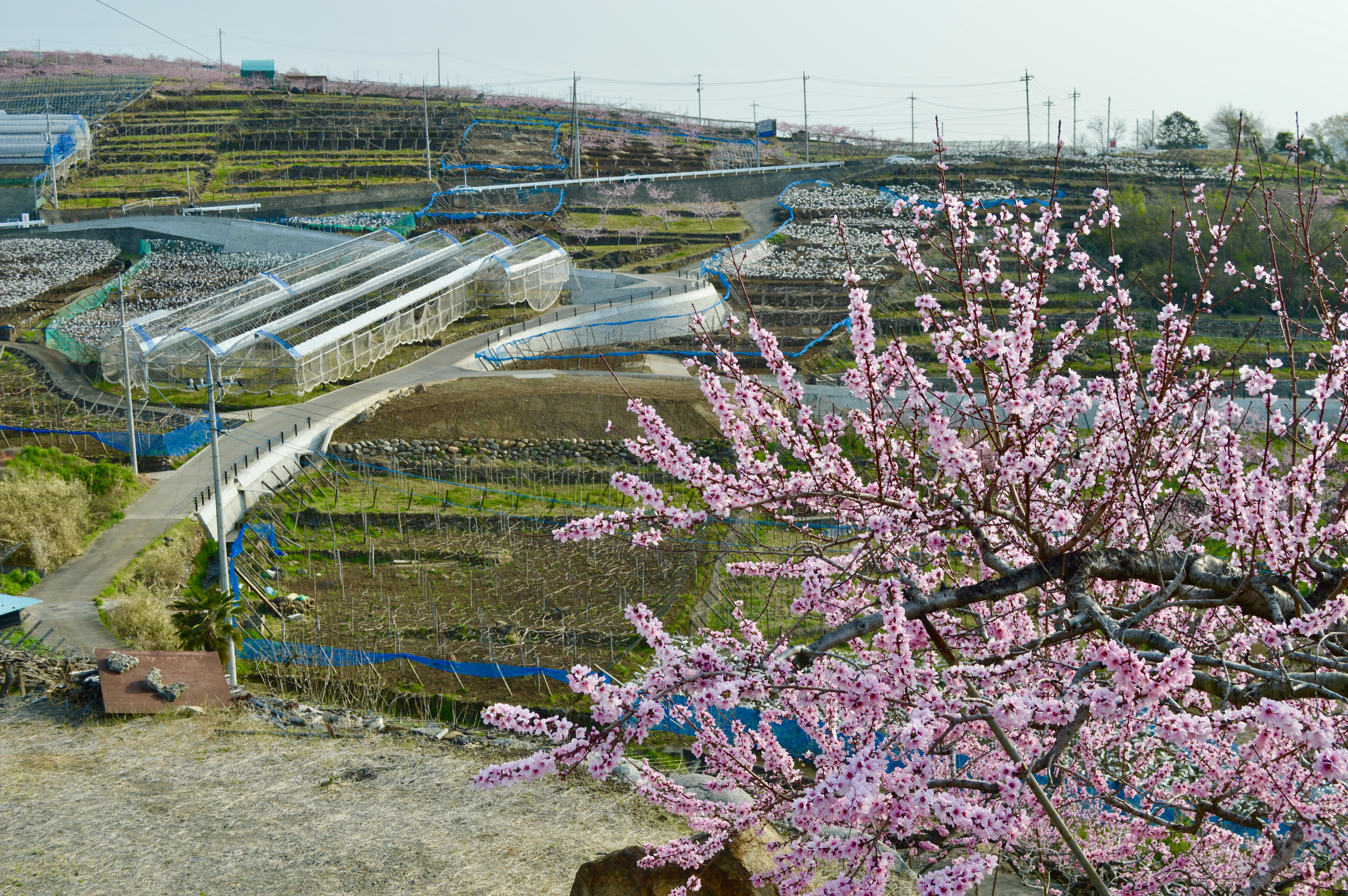 Yamanashi Fruits Line 5