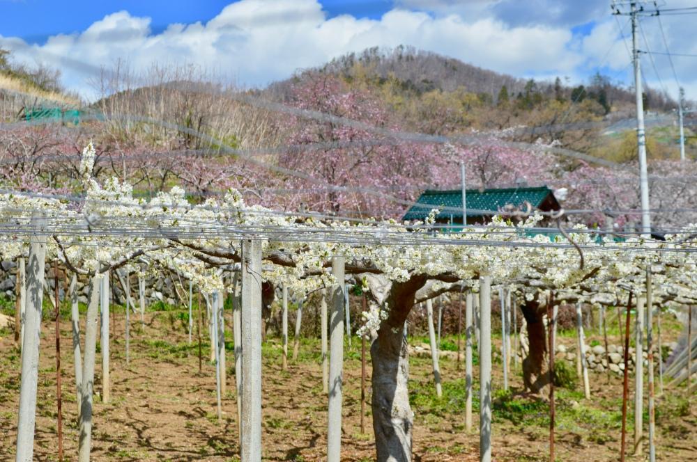 Yamanashi Fruits Line 2