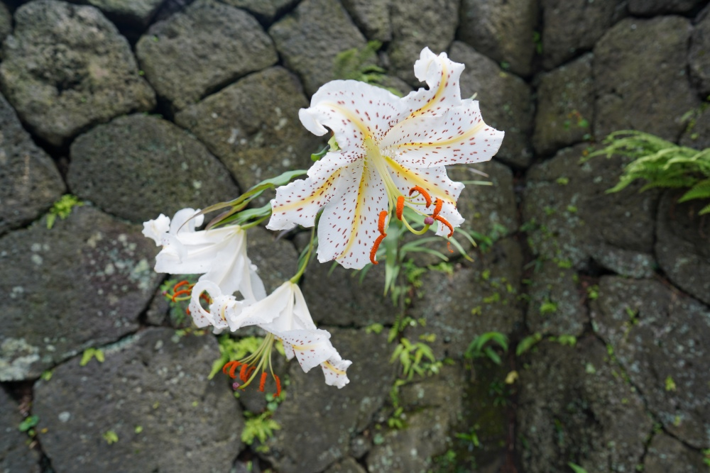 Lilies grow from the narrow spaces in the garden's volcanic stone walls (ishigaki).